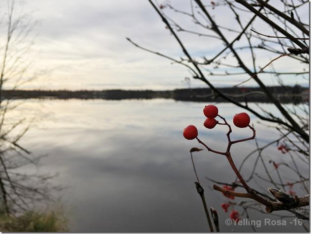 Rowanberries 2016 by © Yelling Rosa